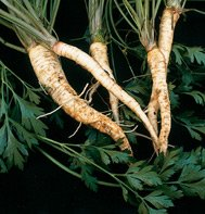 PARSELY (ROOT)-BARTOWICH LONG******10,000 SEED