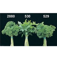 PARSELY-ITALIAN DARK GREEN******6,000 SEED