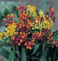 ASCLEPIAS-SILKY FORMULA MIX*****125 SEED
