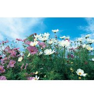 COSMOS-SENSATION MIX***HEIRLOOM*****1,000 SEED