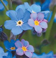 FORGET-ME-NOT-BOBO BLUE*****HEIRLOOM******500 SEED