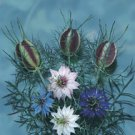 NIGELLA-LOVE-IN-A-MIST****HEIRLOOM****2,500 SEED