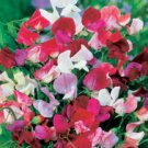 SWEET PEA-OLD SPICE MIX***HEIRLOOM****150 SEED