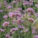 VERBENA-BONARIENSIS*****HEIRLOOM****1,000 SEED