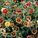 ZINNIA-PERSIAN CARPET***HEIRLOOM*****1,500 SEED