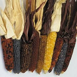CORN-BABY FINGERS***HEIRLOOM*****250 SEED