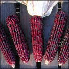 CORN-BLOODY BUTCHER***HEIRLOOM*****300 SEED