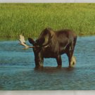"""Bull Moose"" 50s VINTAGE POSTCARD Yellowstone"