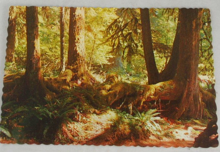 POSTCARD USA Washington,Olympic Nat Park,Rainforest