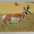 POSTCARD Animals,Pronghorn Antelope Kodachrome