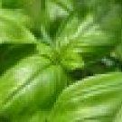 $5 Persian Basil Herb plant,seeds guaranteed to grow