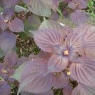 Organic Perilla (Shiso,Chinese cumin,korean sesame leave)  seeds of  purple leave