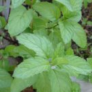 Organic Italian Mint herb plant - Never used any chemical to 3 strands package