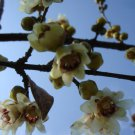 5 Chimonanthus Praecoxوjapan allspice,winter sweet,seeds بذر گل یخ از