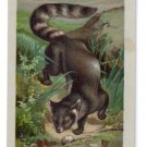 Victorian Trade Card Arbuckle Coffee 1889 Cacomixle Zoologixal Series Animals No