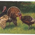 Schonian Turkeys Vintage Thanksgiving UND Postcard GAN