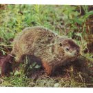 Ground Hog Woodchuck Greetings Pocono Mts Postcard