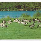 Wild Canadian Geese Delmarva Penninsula