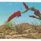 Desert Flower Ocotillo Buggy Whip Cactus Vintage 1976 Postcard 4X6