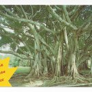 FL Florida Banyan Tree Vintage Postcard