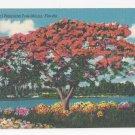 Royal Poinciana Tree Florida Vintage 1952 Linen Postcard