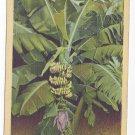 Banana Tree Bud and Fruit Florida Vintage 1943 Linen Postcard