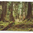 WA Rain Forest Olympic Peninsula Hemlock Spruce Trees Vintage Postcard 4X6