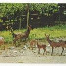 Sika Deer National Zoo Washington DC Vtg Postcard
