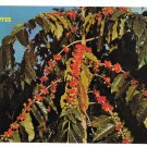 Kona Coffee Berries Hawaii Vintage Postcard