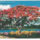 Royal Poinciana Tree Florida Vintage Linen Postcard 1954