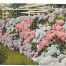 NJ Hydrangeas Seashores Favorite Flower Vtg Postcard