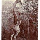 Gerenuk Gazelle American Museum of Natural History Postcard