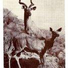 Koodoo Antelope Kudu American Museum of Natural History Postcard
