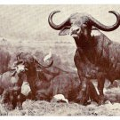 African Buffalo American Museum of Natural History Postcard