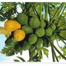 Hawaii Papaya Tropical Fruit Tree Vintage Postcard 4X6