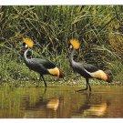 East African Wildlife Crown Birds Vintage Postcard 4X6