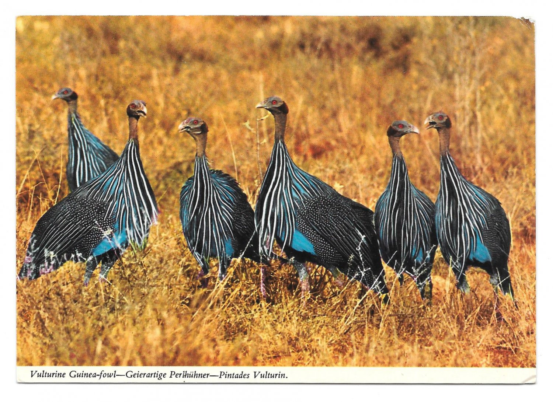 African Birds Wildlife Vulturine Guinea Fowl John Hinde Postcard 4X6