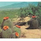 AZ NM Flowering Barrel Cactus in the Desert Southwest US Vintage Petley Postcard