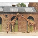 Two Giraffes London Tuck Oilette At the Zoo Series I Vintage Postcard