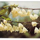 Silver Bells Philadelphia PA Morris Arboretum Flowers Vintage Postcard