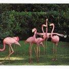 Birds Pink Flamingos Florida Hialeah Race Course Courtesy Photo Vintage Postcard