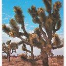 CA Desert Joshua Tree Forest Vintage Postcard Josef Muench Photo