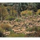 Herd of Sheep Edw H Mitchell California Vintage ca 1910 Postccard Serial No 1950