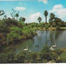 Busch Gardens Lagoon Water Birds Swans Geese Tampa Florida Vintage Beckett Postcard