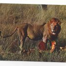 African Lion with Prey Kill Lion's Repast Eating Vintage IRIS Continental Postcard 4X6