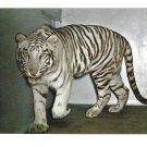White Tiger Mohini Rewa National Zoological Park Washington DC Vintage Zoo Postcard
