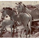 American Museum Natural History Grevy African Zebra Exhibit Vtg Postcard