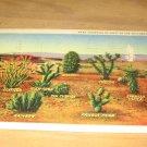 Vintage Variety Of Cacti Southwest Postcard