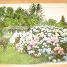 Vintage California Hydranges Postcard