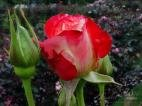 Rose Buds & Petal